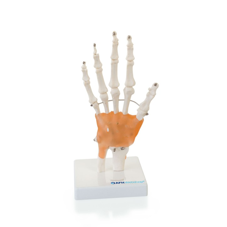AFH Anatomisches Handmodell Skelett/Ligament | Deluxe