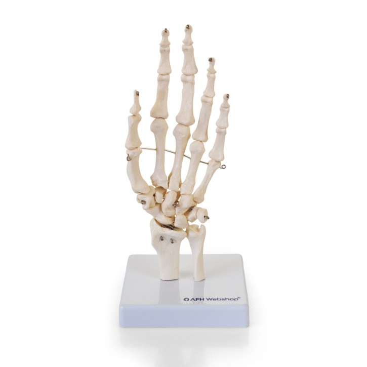 AFH Anatomisches Handmodell Skelett | Deluxe