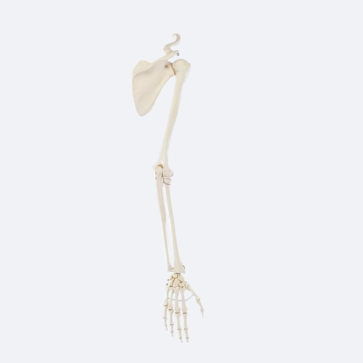 Armskelett mit Schultergürtel Erler Zimmer