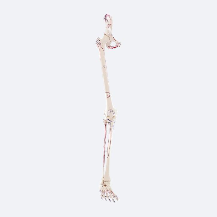 Beinskelett mit Beckenhälfte und flexiblem Fuß mit Muskelmarkierungen
