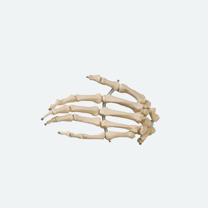 Hand | Knochen lose auf Gummischnur | Rüdiger Anatomie