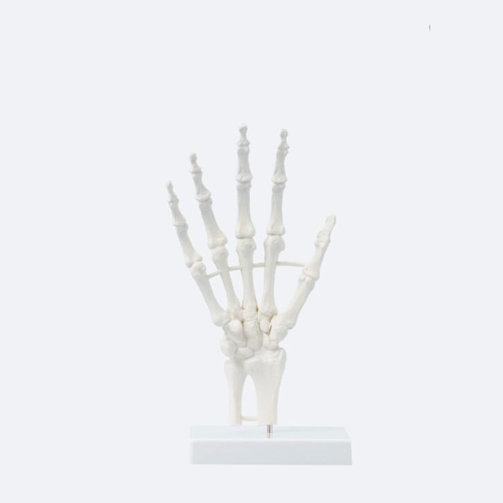 Handskelett | unbeweglich