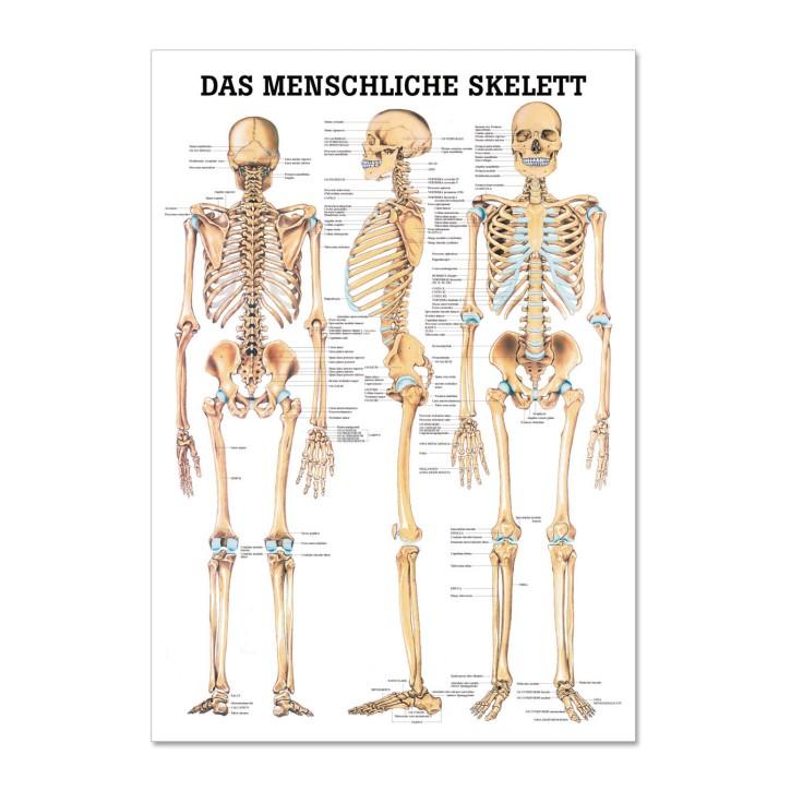 Lehrtafel | Das Menschliche Skelett | Rüdiger Anatomie