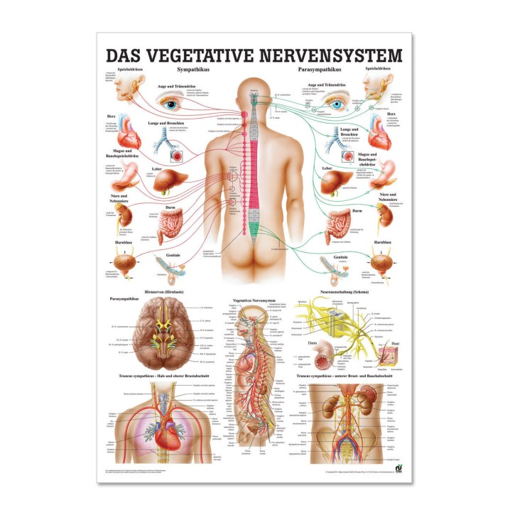Lehrtafel   Das vegetative Nervensystem   Rüdiger Anatomie