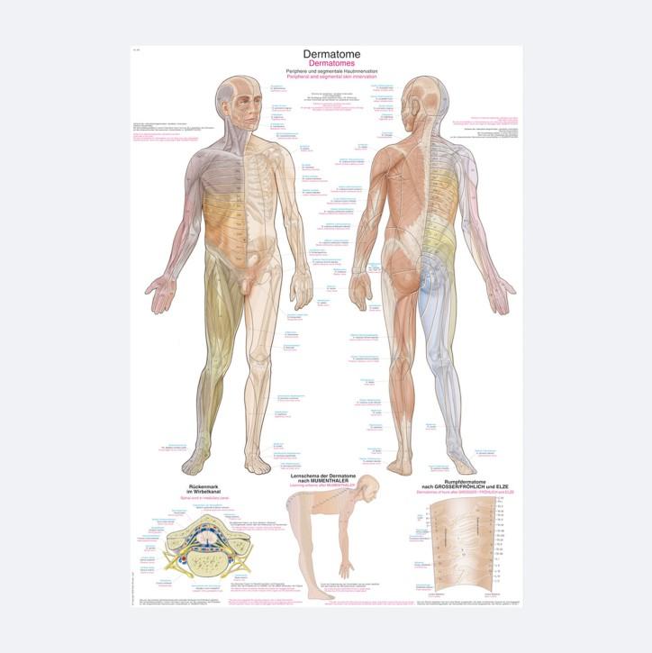 Lehrtafel | Dermatome