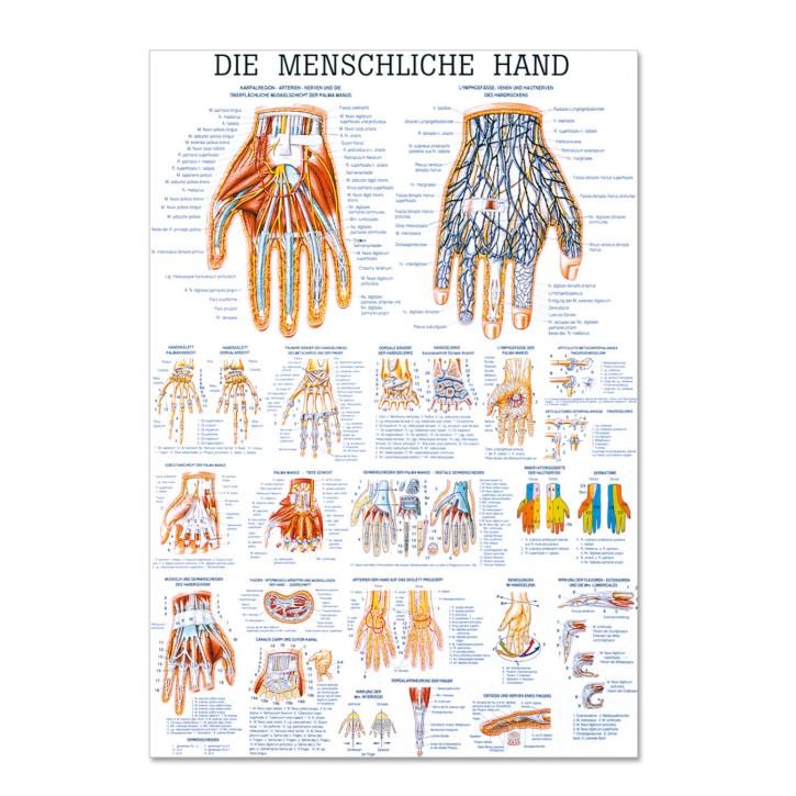 Lehrtafel | Die Menschliche Hand | Rüdiger Anatomie