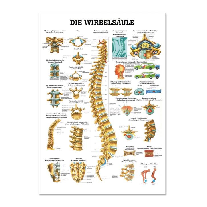 Lehrtafel | Die Wirbelsäule | Rüdiger Anatomie