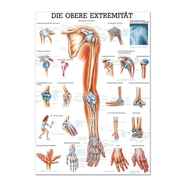 Lehrtafel | Die obere Extremität | Rüdiger Anatomie