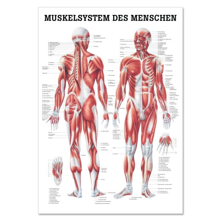 Lehrtafel | Muskelsystem des Menschen | Rüdiger Anatomie