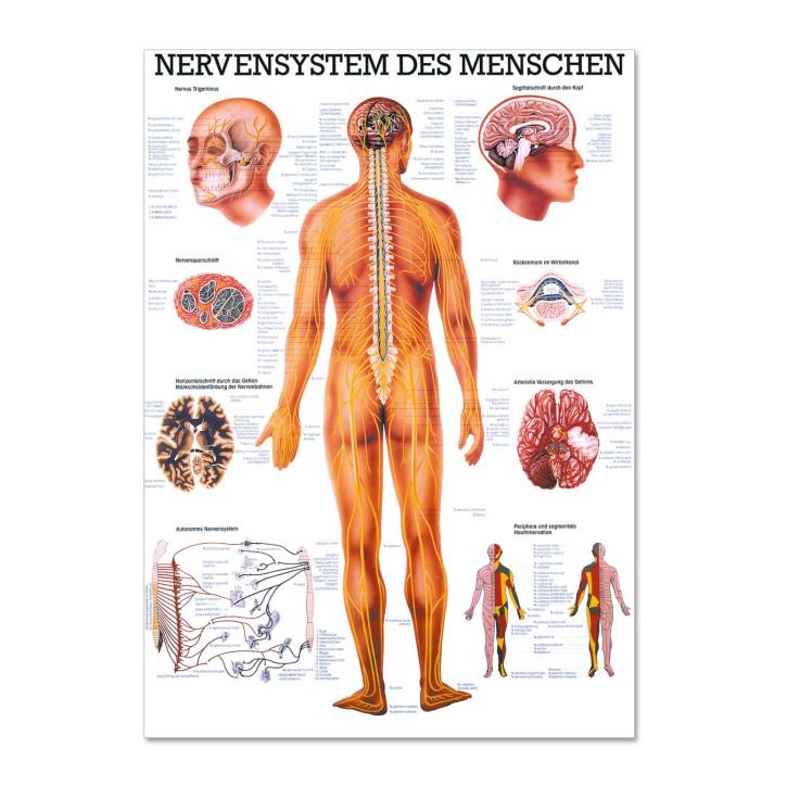 Lehrtafel | Nervensystem des Menschen | Rüdiger Anatomie
