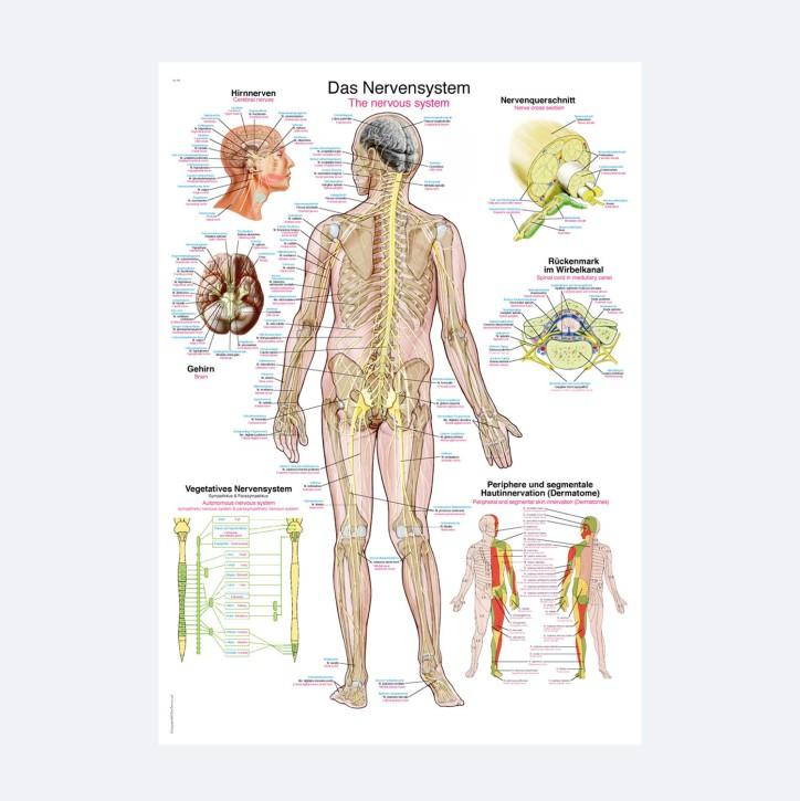Lehrtafel | Das Nervensystem