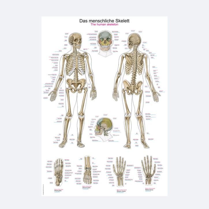 Lehrtafel | Das menschliche Skelett