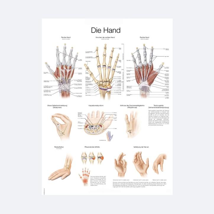 Lehrtafel | Die menschliche Hand