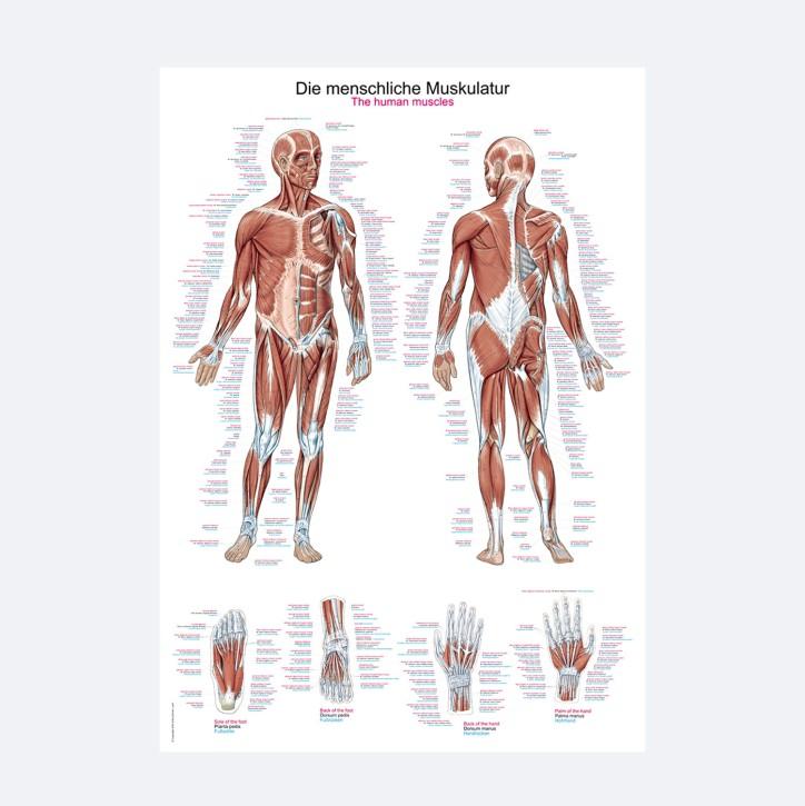 Lehrtafel | Die menschliche Muskulatur