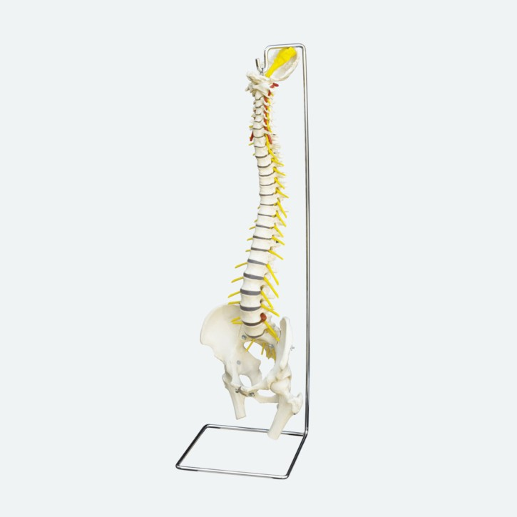Flexible Wirbelsäule | Anatomisches Modell | Abguss | Rüdiger Anatomie