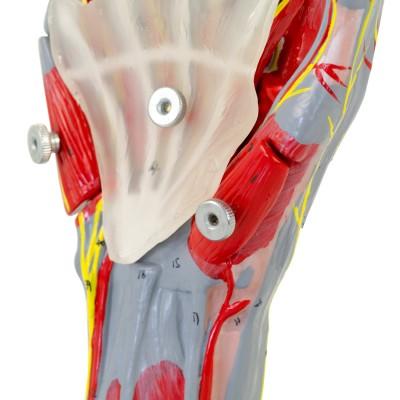 AFH Anatomisches Handmodell Deluxe | mehrteilig mit Stativ