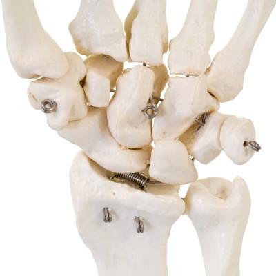AFH Anatomisches Handmodell Skelett   Deluxe