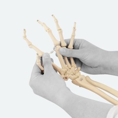 Handskelett | Unterarmansatz & Gummischnur | Rüdiger Anatomie